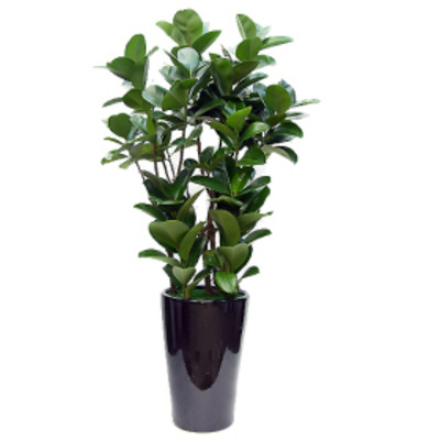 고무나무(사기분)-인기상품
