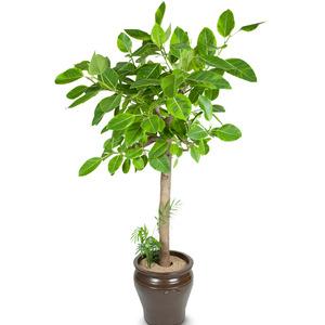 벵갈고무나무-가성비최고
