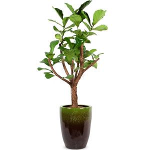 떡갈나무(특품)