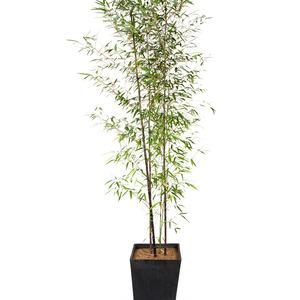 오죽 - 검은색 대나무