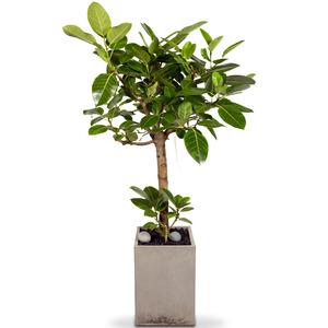 뱅갈고무나무(특)-MD추천