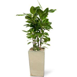 뱅갈고무나무(사각)-공기정화