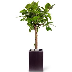 최고인기♠뱅갈고무나무(VIP)