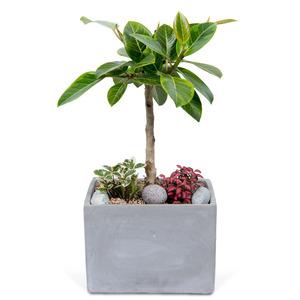 뱅갈고무나무(사각분)