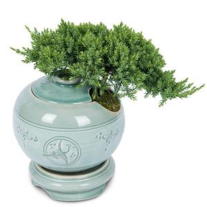 좀향나무(청자도자기분)