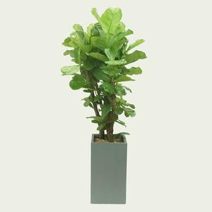 MD강추♣떡갈고무나무
