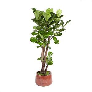 떡갈나무(테라)-특대품