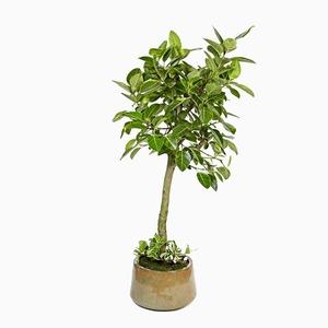 뱅갈고무나무(테라)