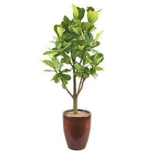 떡갈고무나무-사무실개업
