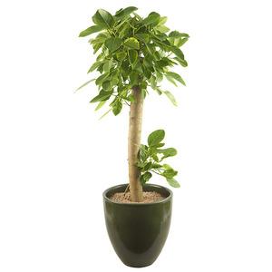 뱅갈고무나무-개업VIP