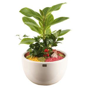 뱅갈고무나무(미니화분)